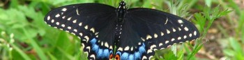 cropped-blk_swallowtail4