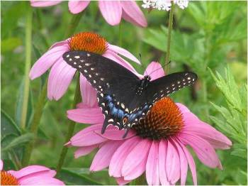 Black Swallowtail & Purple Coneflower