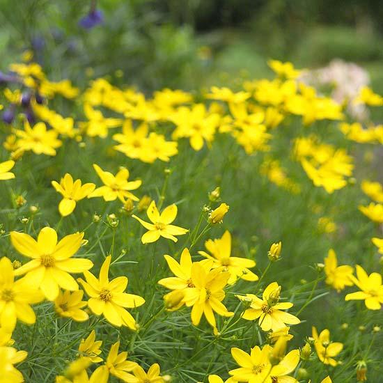 Sunflowers Amp Butterflies Perennial Flowers That Attract