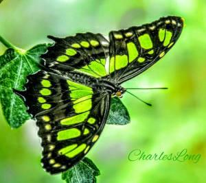 butterfly-green