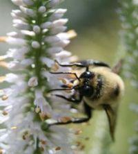 Bee-native