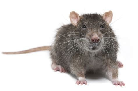 Free Rodent Training in the Bronx